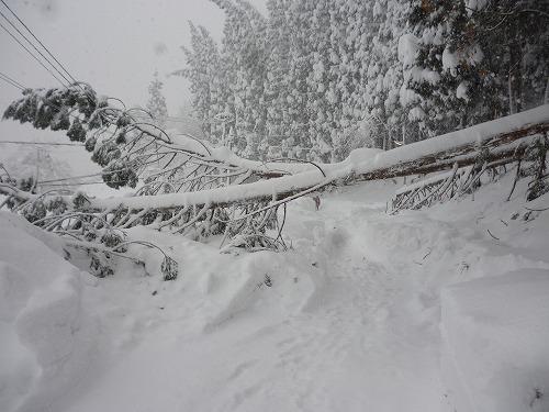 滝ノ下側から見た杉の倒木 (2)