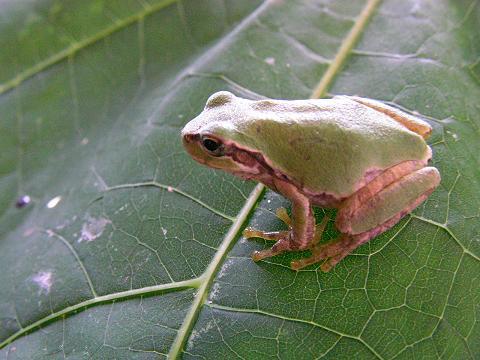 蛙 006