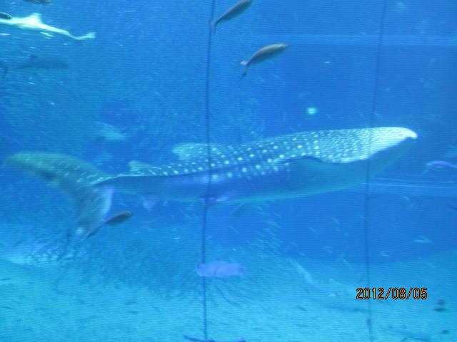 じんべいサメ