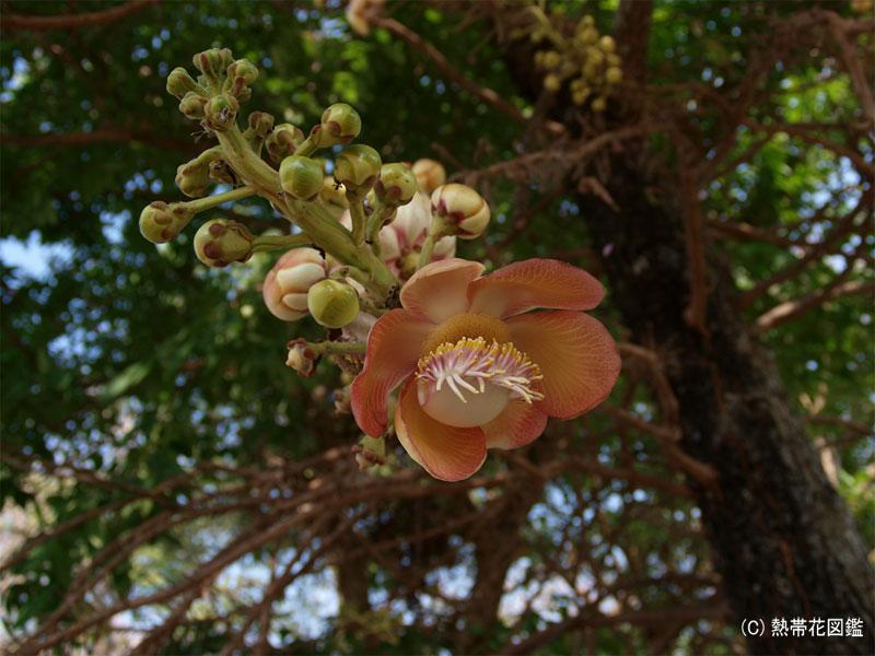 砲丸の木の花