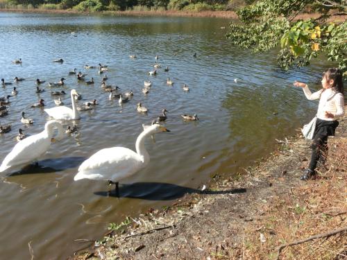 11月白鳥にの池3