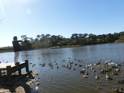 11月白鳥にの池2