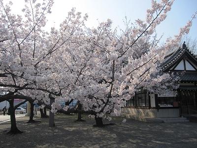 大阪護国神社 桜