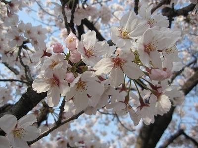 大阪護国神社 桜2