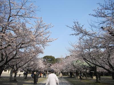 大阪護国神社 桜3