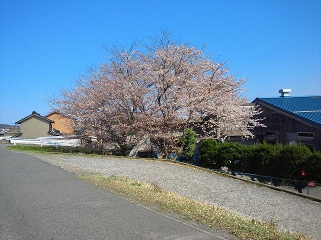 120408_sakura.jpg