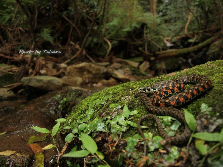 Rhabdophis tigrinus tigrinus