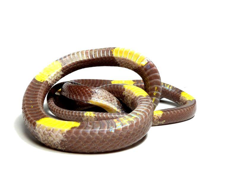 チャイロオオカミヘビ