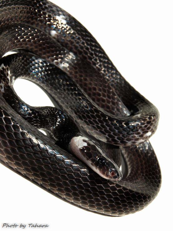 シロオビオオカミヘビ