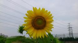 110703ひまわりの花