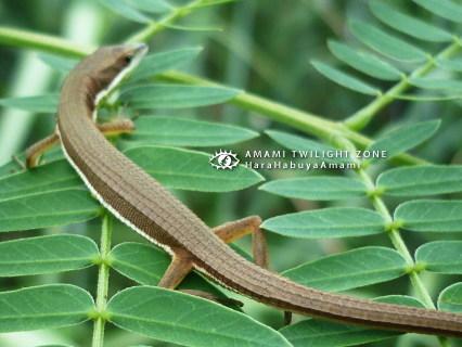アオカナヘビ