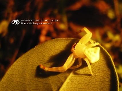 アマミアズチグモ