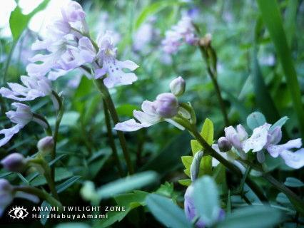 okinawachidori01.jpg