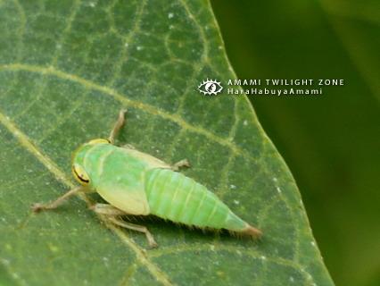 オサヨコバイの幼虫