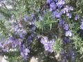 H24.4.17ローズマリーの花①@IMG_4966