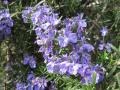 H24.4.17ローズマリーの花②@IMG_4967