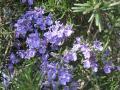 H24.4.17ローズマリーの花③@IMG_4969
