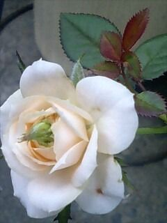 バラから蕾