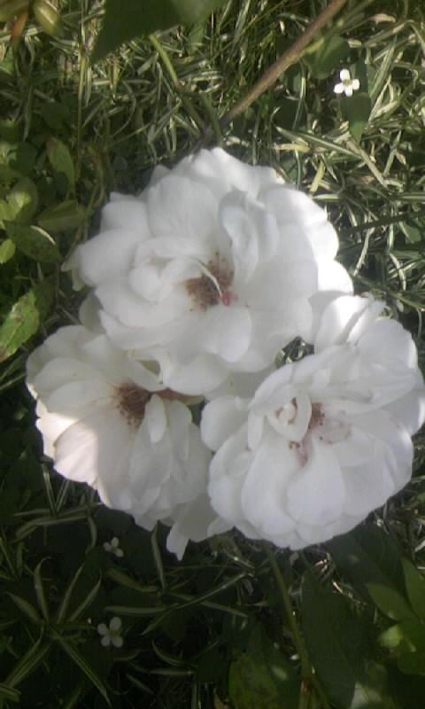 100601_104923白薔薇