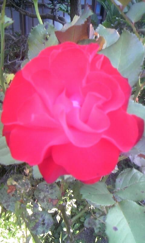 100605_060440赤い薔薇