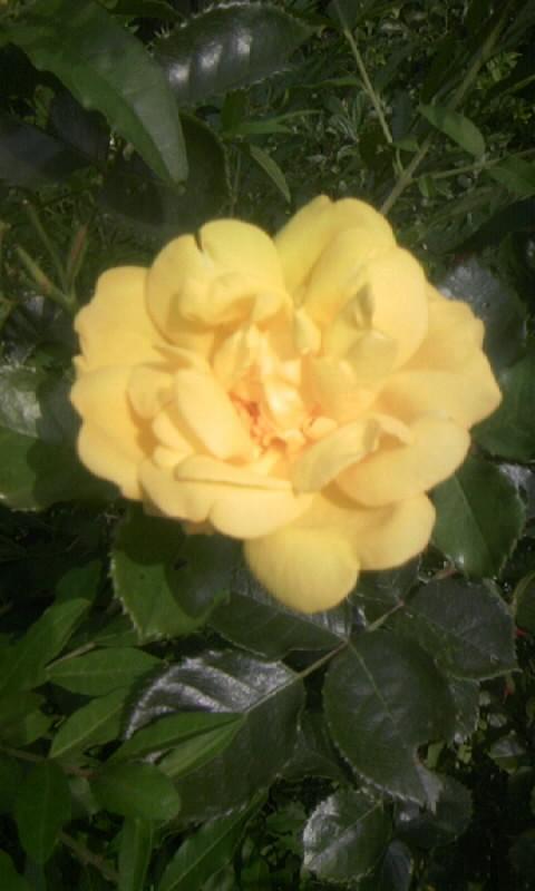 100602_075343薔薇