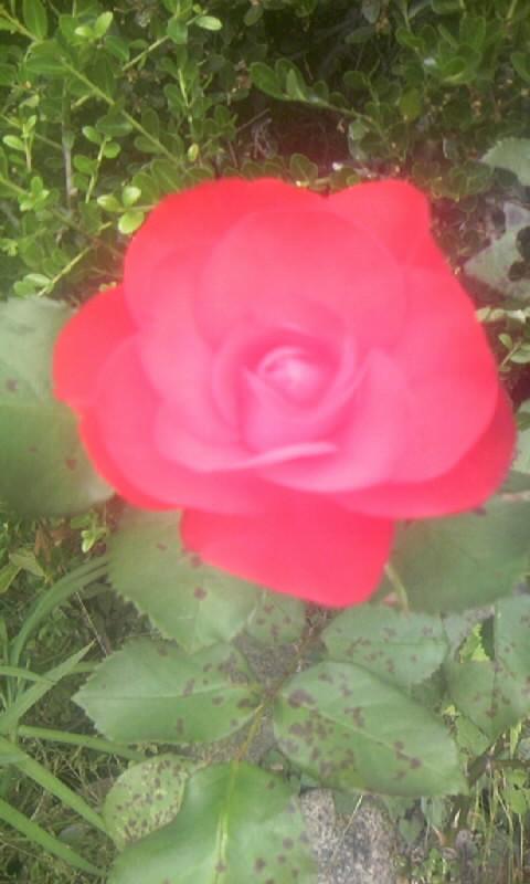 100606_115103薔薇
