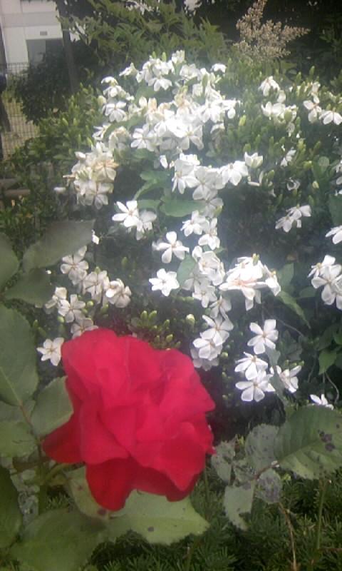 100606_115019クチナシ・薔薇