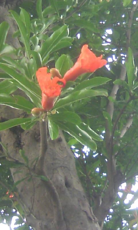 100609_151228ザクロの花