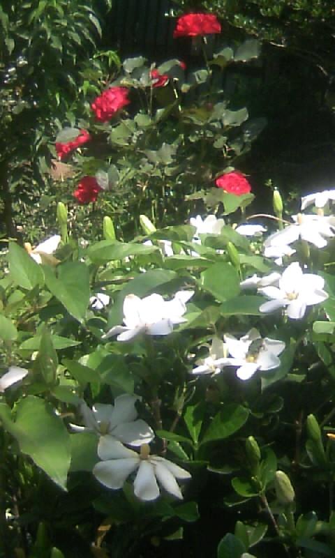 100610_095845紅薔薇&クチナシ