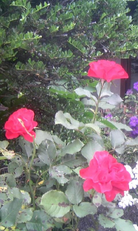 100613_062641紅い薔薇