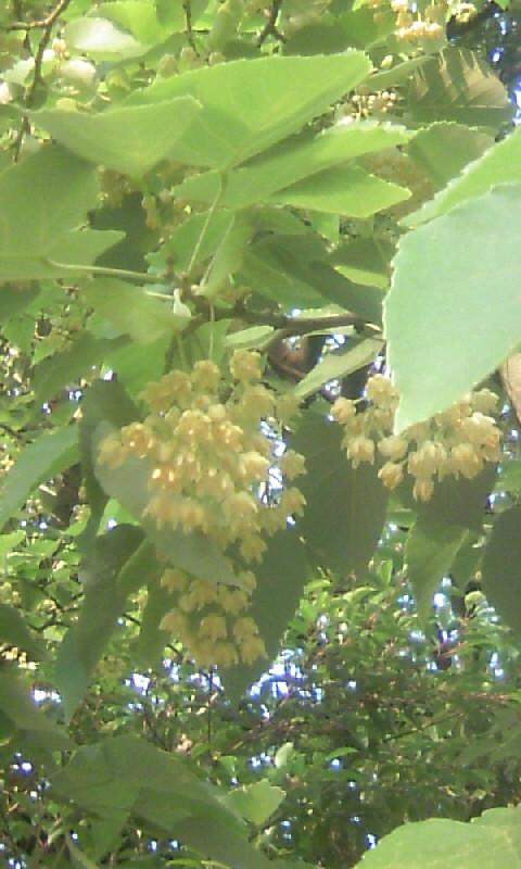 100611_173051菩提樹の花