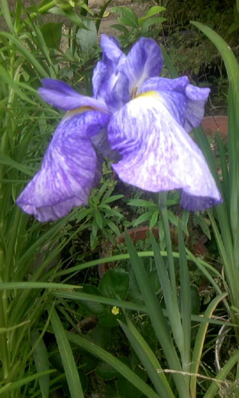 100613_105317花しょうぶ