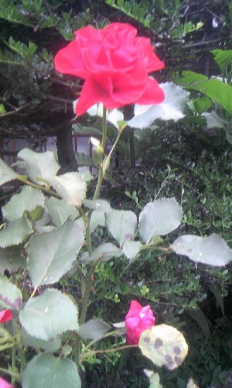 100618_061047紅い薔薇