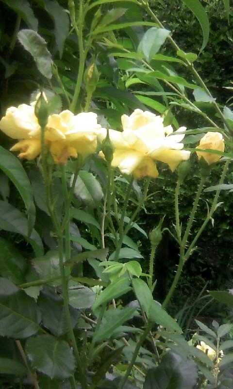 100619_113555黄色い薔薇