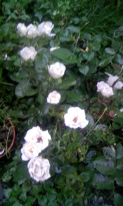 100626_060023白い薔薇