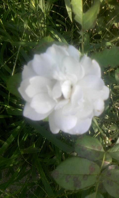 100701_072014白薔薇