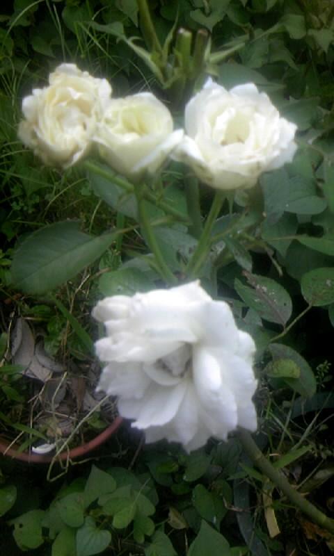 100701_072232白薔薇