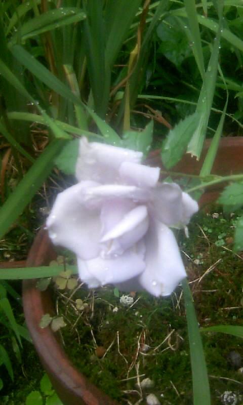 100701_072754ブルーの薔薇