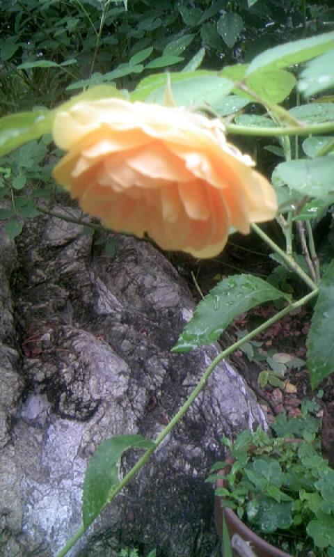 100702_070341薔薇