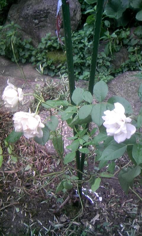 100703_065510白薔薇