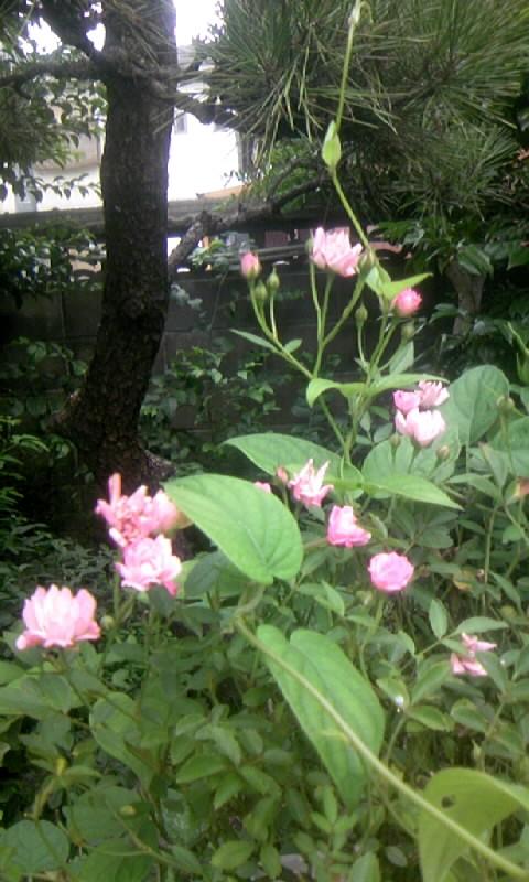 100706_082425ミニ薔薇