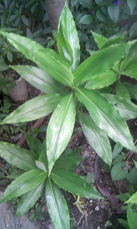 100706_082826ヤブミョウガの葉
