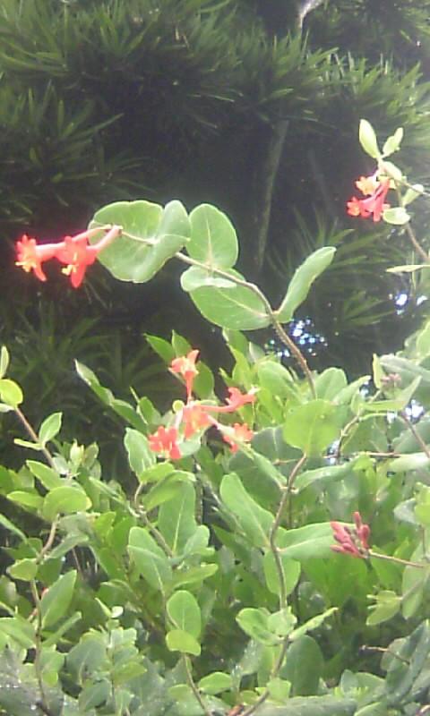 100709_150249夏の花 名前?
