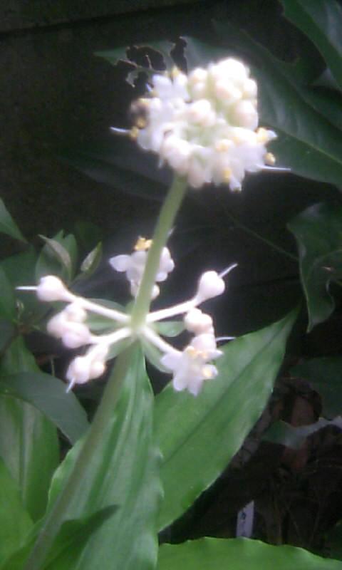 100711_055045ヤブミョウガの花