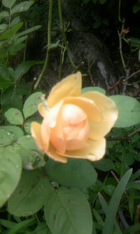 100712_062234薔薇
