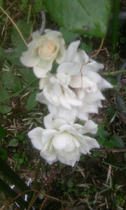 100712_062547白薔薇
