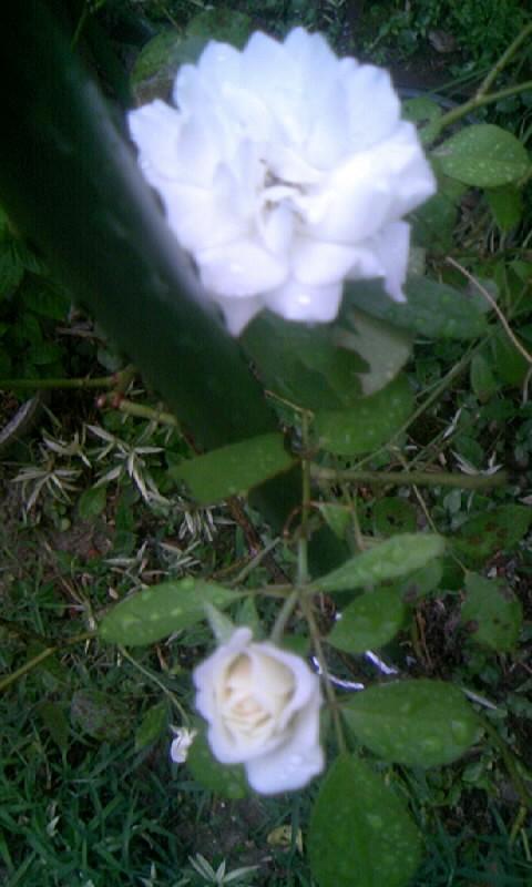 100729_053844白薔薇