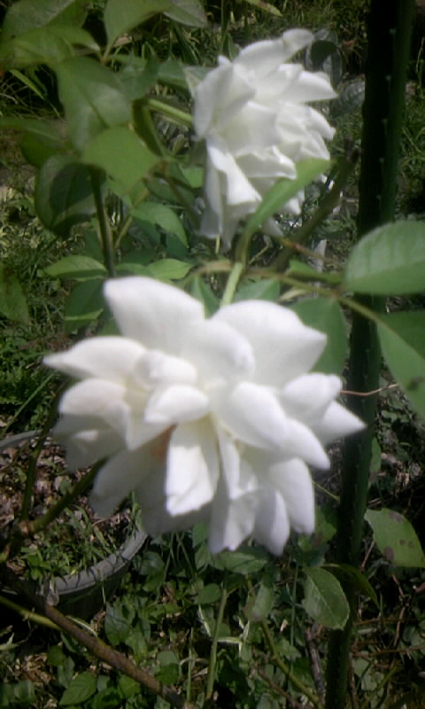 100730_104510白薔薇