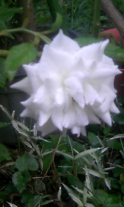 100731_055239白薔薇