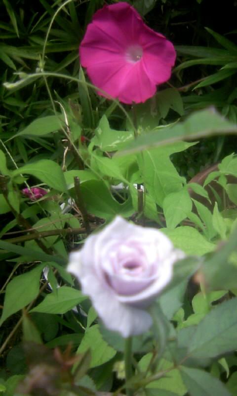 100802_113120朝顔&薔薇